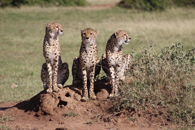 three-cheetahs-on-mound-maasai-mara