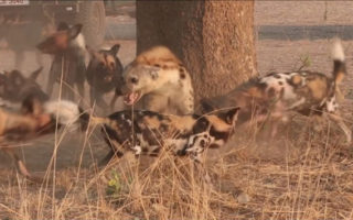 thumb_hyena-harassed-by-african-wild-dogs-01_1024