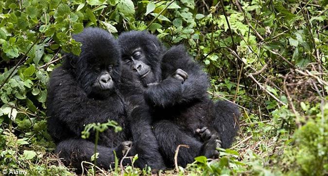 twins-gorillas
