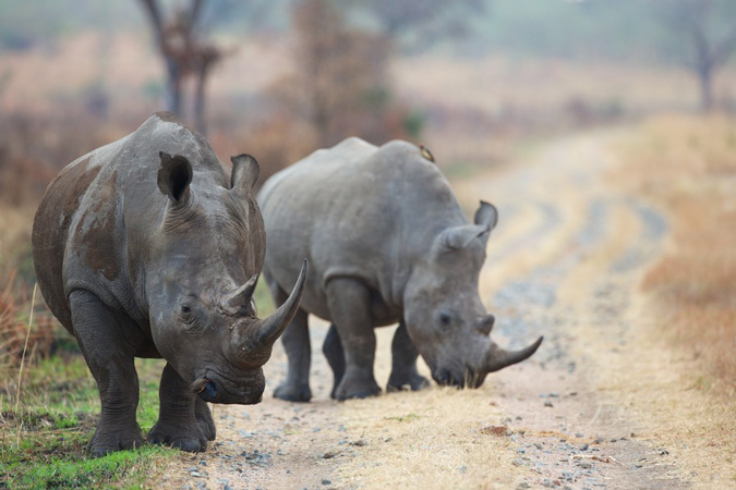 two-rhinos-michael-lorentz