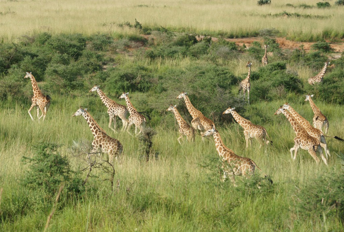 The Journey To Saving The Rothschild Giraffe In Uganda Africa Geographic