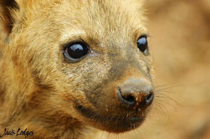 hyena-portrait