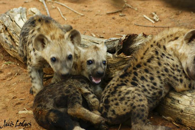 hyena-cubs-playing
