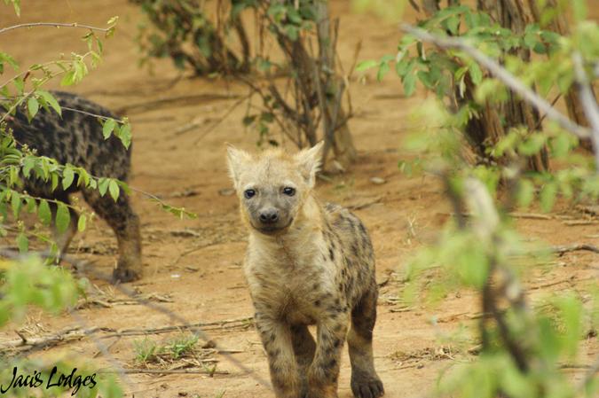 Hyena-adolescent