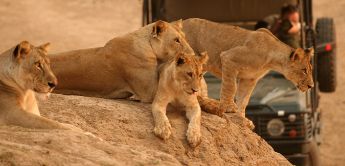 lion-cubs