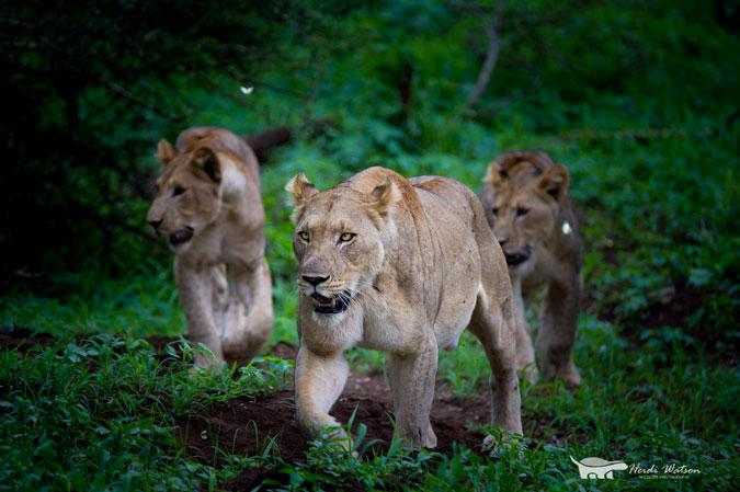 wild-lions-green