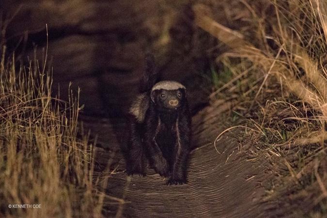 honeybadger-Nanzhila-Plains
