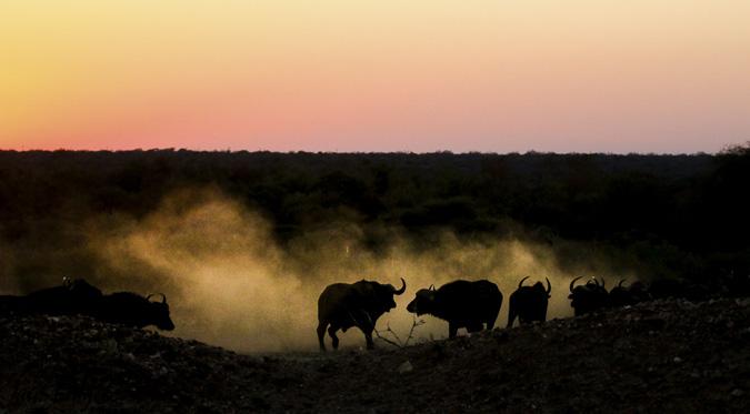 buffalo-dust