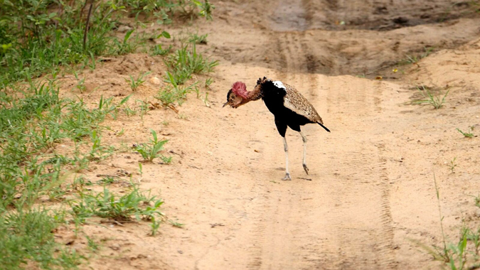 korhaan-bird