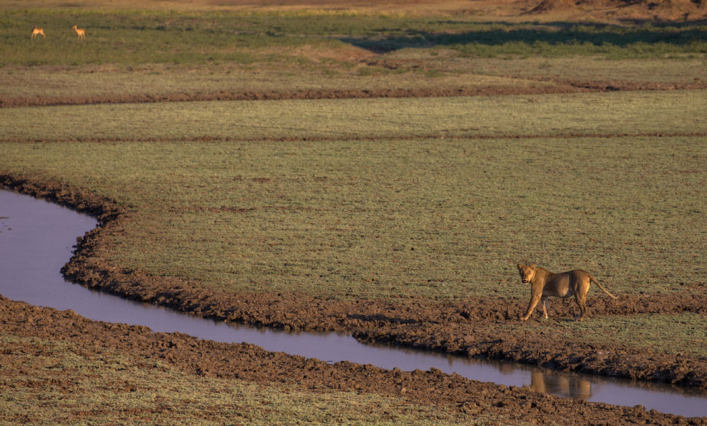 lioness-in-an-oxbow