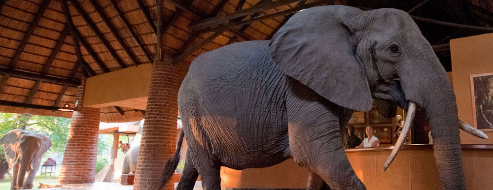 """""""In November the resident elephant families near Mfuwe Lodge are on the search for succulent wild mango fruits. One particular family takes the most direct route to the mango trees, solemnly walking through reception at Mfuwe to the delight of the guests."""