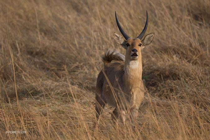 reedbuck-Nanzhila-Plains