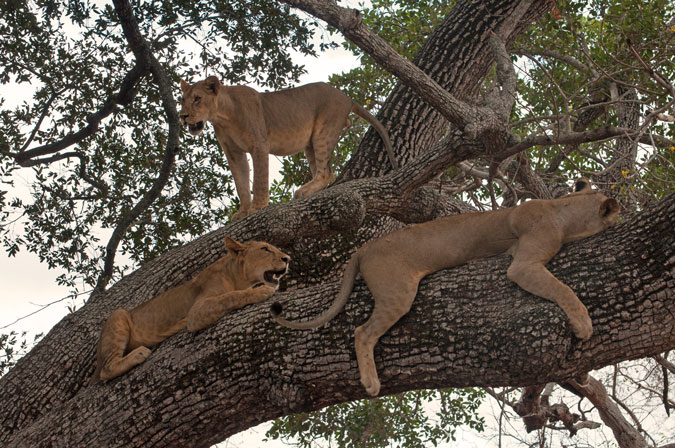 tree-lions