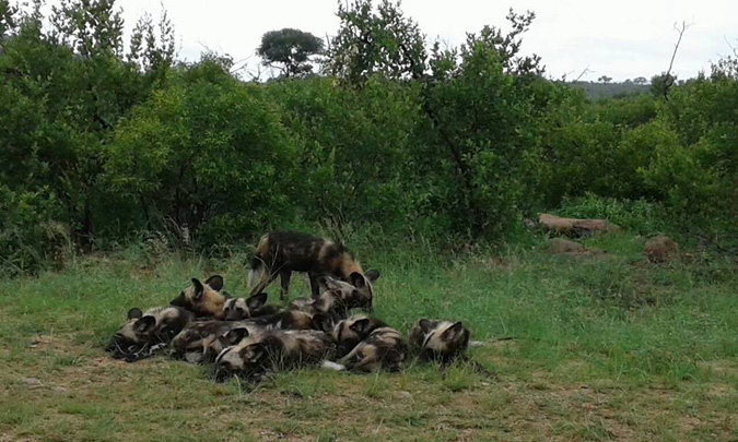 wild-dogs-kruger