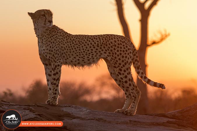 cheetah-golden-light