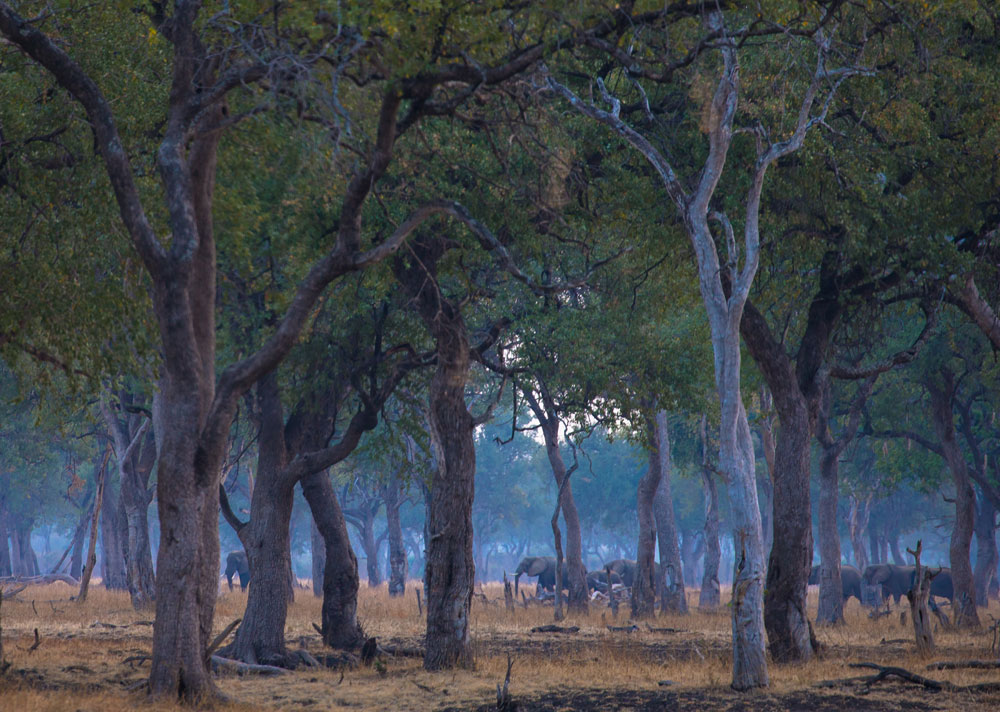Elephants move like ghosts through the twilight in a leadwood forest © Peter Geraerdts
