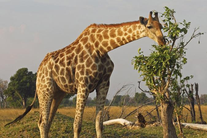 giraffe-botswana