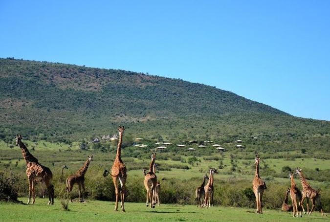 tower-giraffes