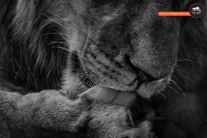 lion-lick