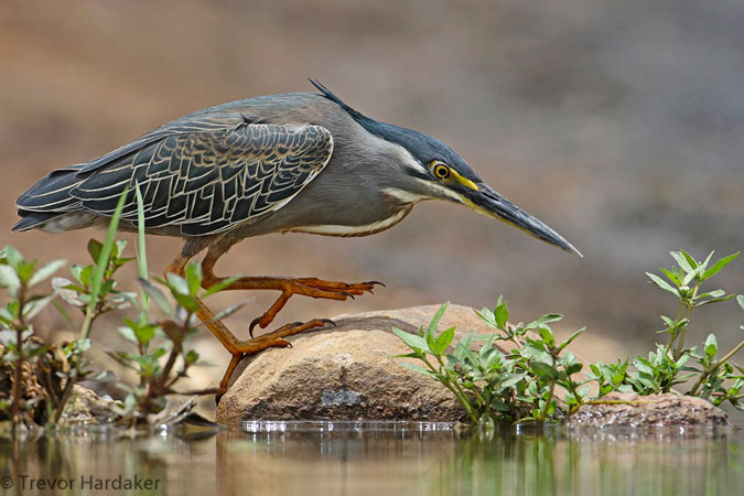 green-backed-heron