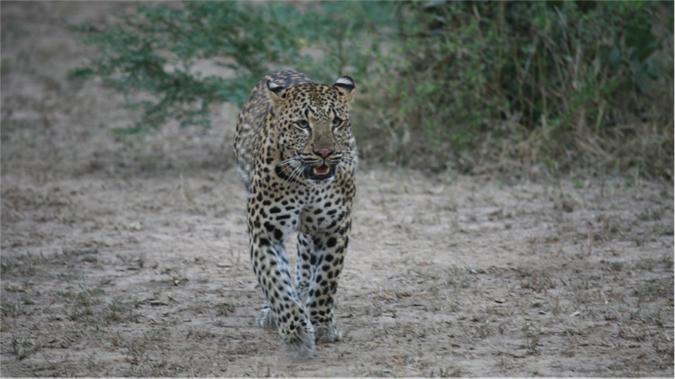 leopard-luangwa