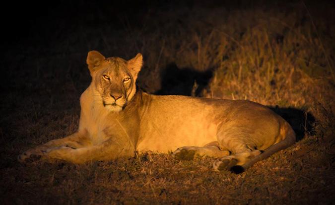 lion-night-drive