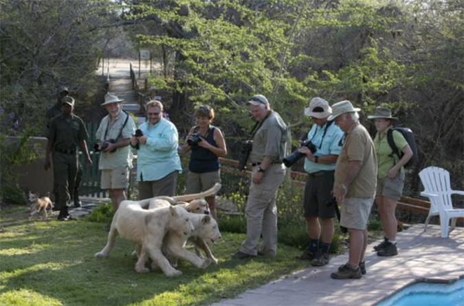 walking-white-lions