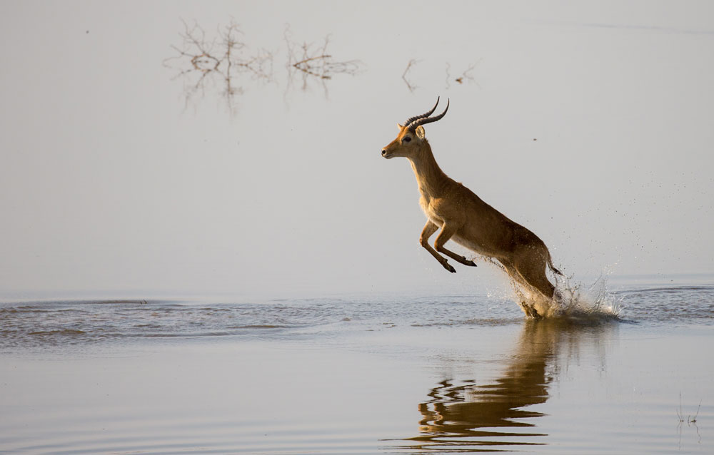 A puku leaps across the Luangwa River while being chased by wild dogs © Peter Geraerdts