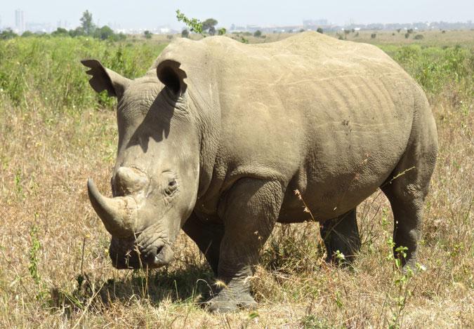 rhino-kenya
