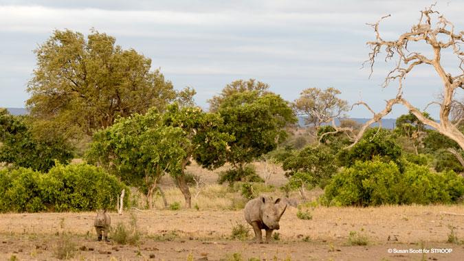 rhino-stroop