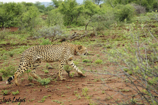 cheetah-stalking