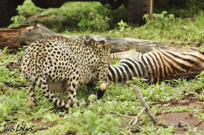 cheetah-kill