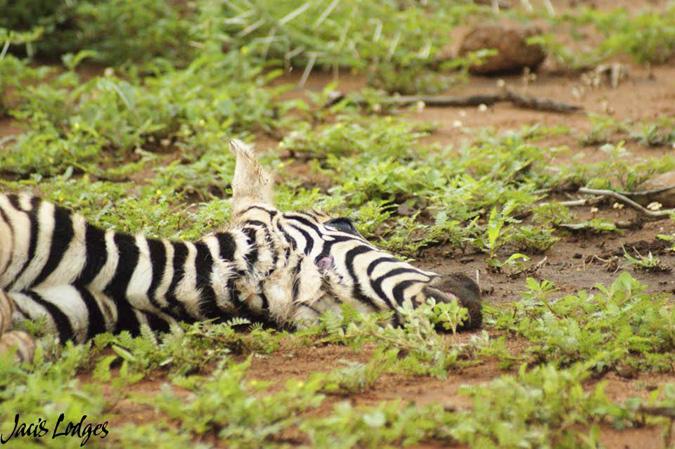 zebra-foal-prey
