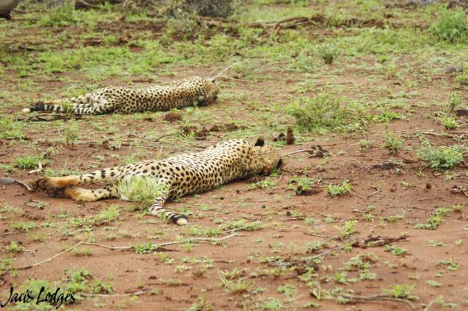 cheetah-resting