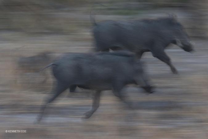 warthog-Nanzhila-Plains
