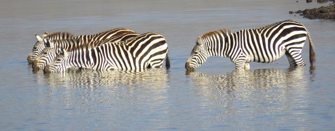 zebra-water
