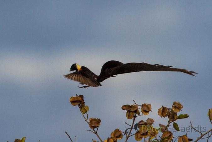 paradise-whydah