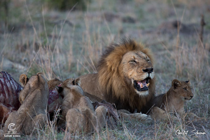 male-lion-kill