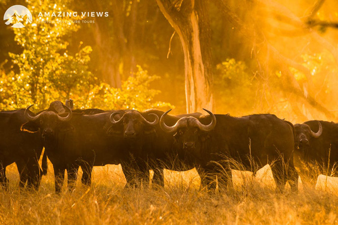 Amazing-Views-Backlight-Photography-Buffalos-Moremi