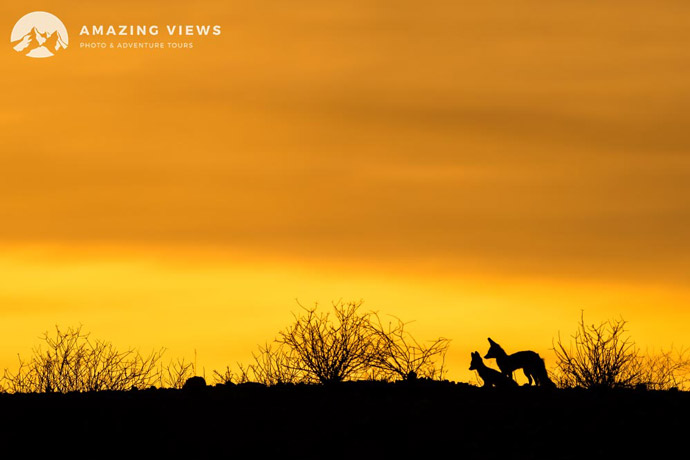 Amazing-Views-Backlight-Photography-CapeFoxes-Kgalagadi