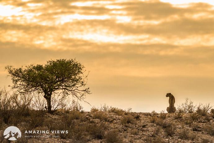 Amazing-Views-Backlight-Photography-Cheetah-Kgalagadi