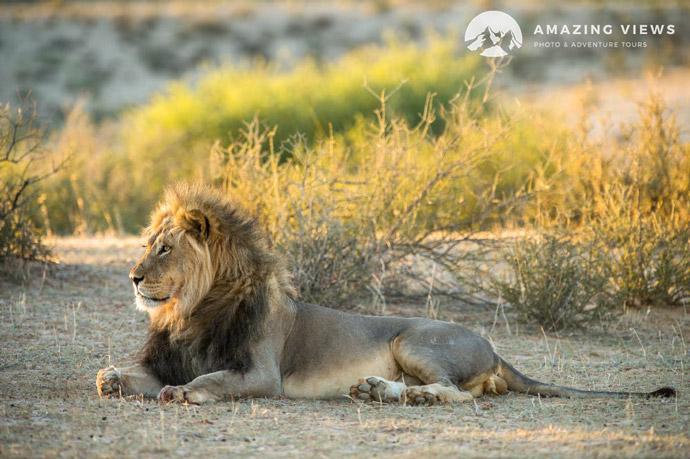 Amazing-Views-Backlight-Photography-Lion-Kgalagadi