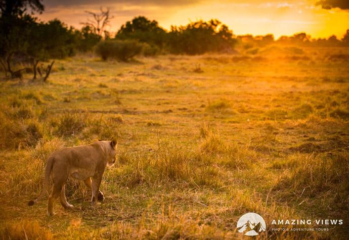 Amazing-Views-Backlight-Photography-Lion-Sunrise-Khwai