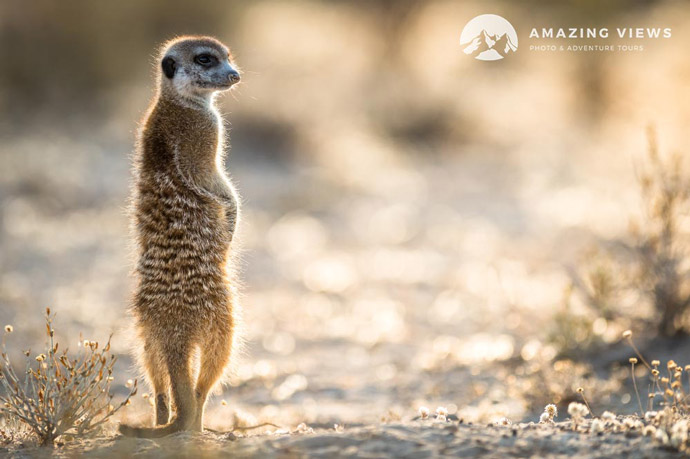 Amazing-Views-Backlight-Photography-Meerkat