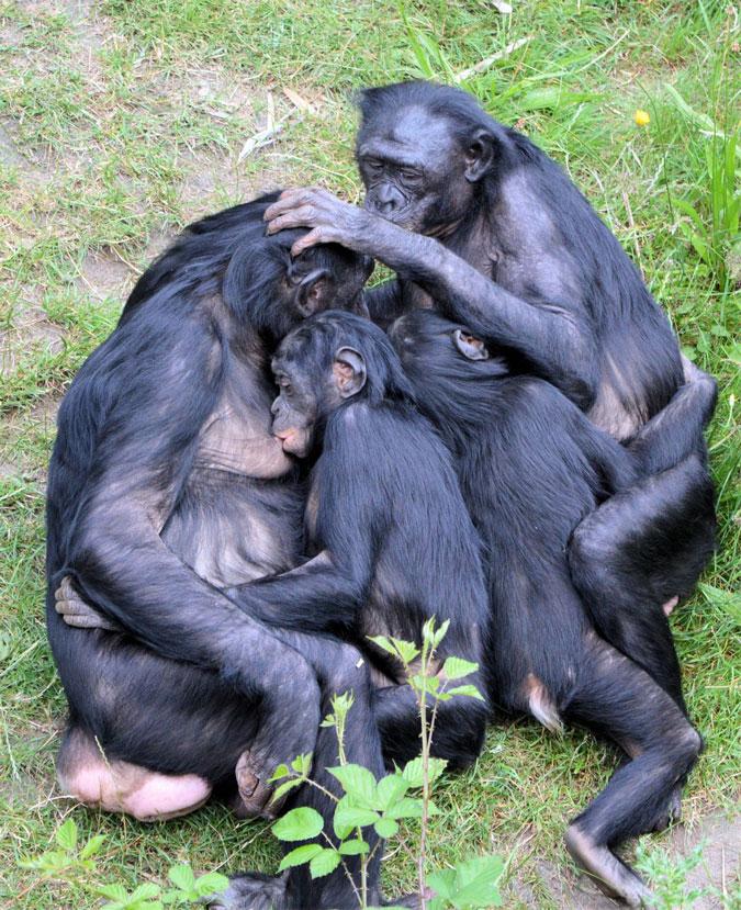 bonobo-love