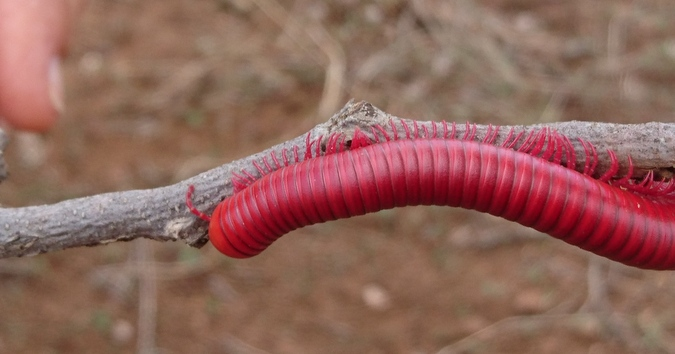 Red giant African millipede at Pongola Game Reserve South, KwaZulu-Natal, South Africa
