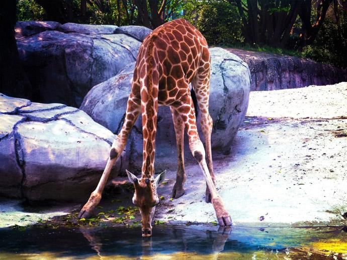 Giraffe-Centre
