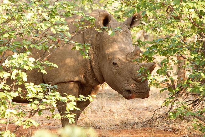white-rhino-kruger-national-park