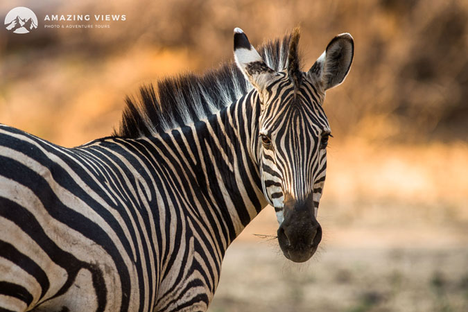 mana-pools-zebra