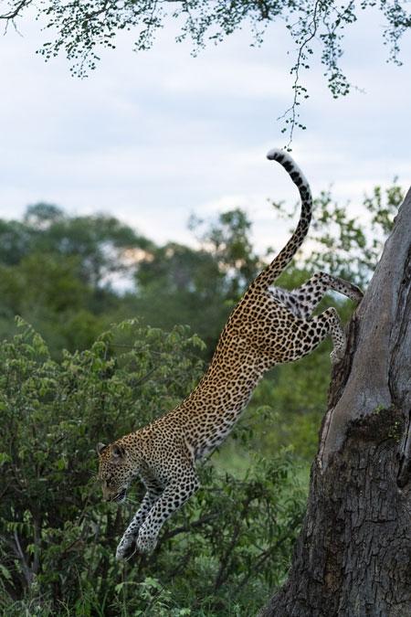 leopard-leap